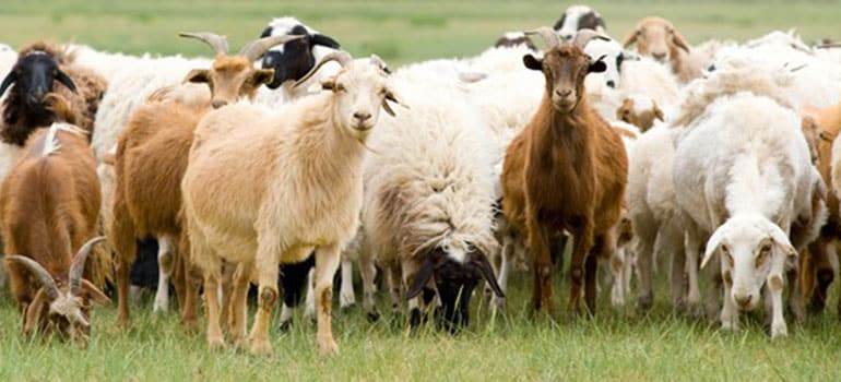 Αποτέλεσμα εικόνας για σπάνιες φυλές αγροτικών ζώων