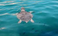 Νάξος: Ακόμα μια νεκρή Caretta caretta. 17 νεκρές χελώνες μέσα στο 2020