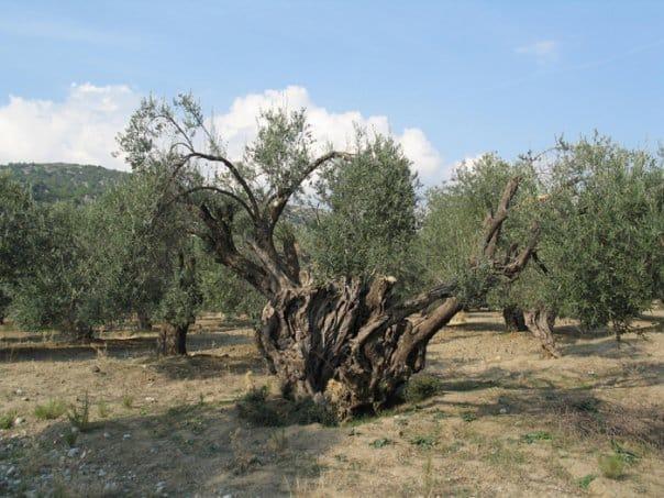 Κάλεσμα συμμετοχής στην προστασία αιωνόβιων ελαιόδεντρων από την Περιφέρεια
