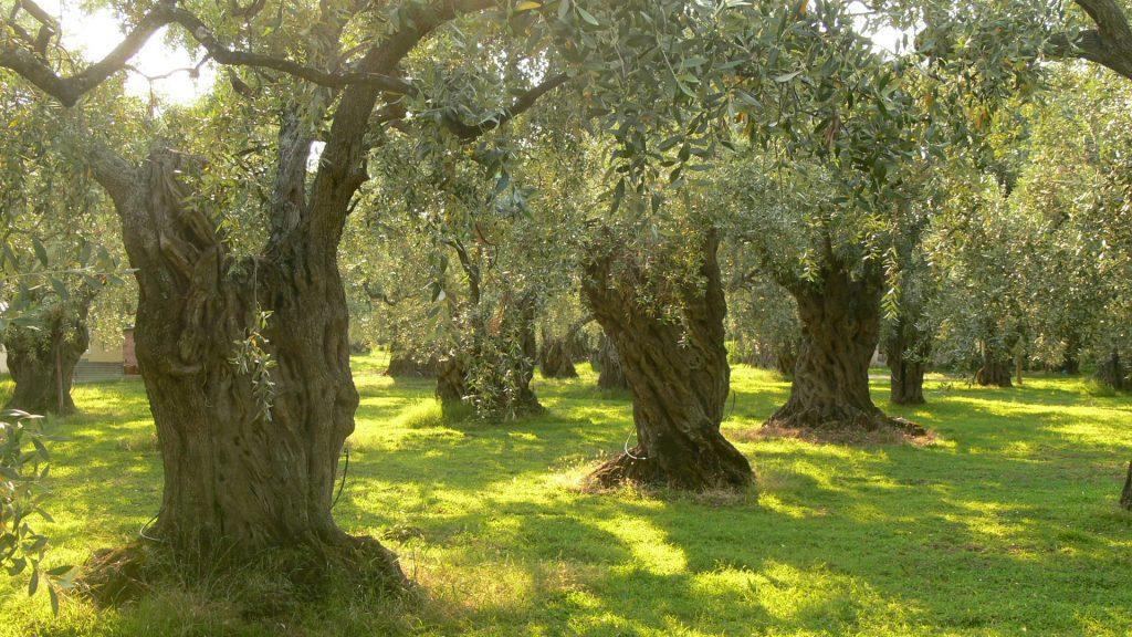 Την ανάδειξη και προστασία των αιωνόβιων ελαιόδεντρων θα επιδιώξει η Περιφέρεια
